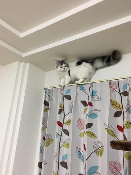猫 スコティッシュフォールド 銀次郎の写真
