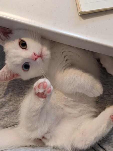 猫 マンチカン リムの写真