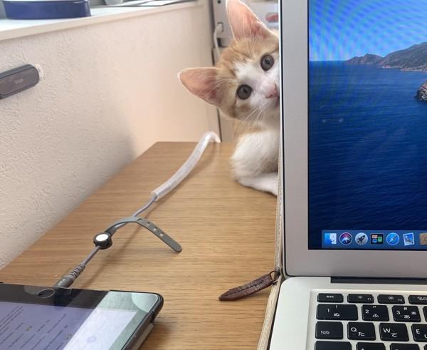 猫 茶白トラ ルカの写真