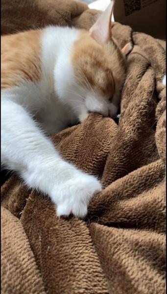 猫 雑種(ミックス) 麦茶の写真