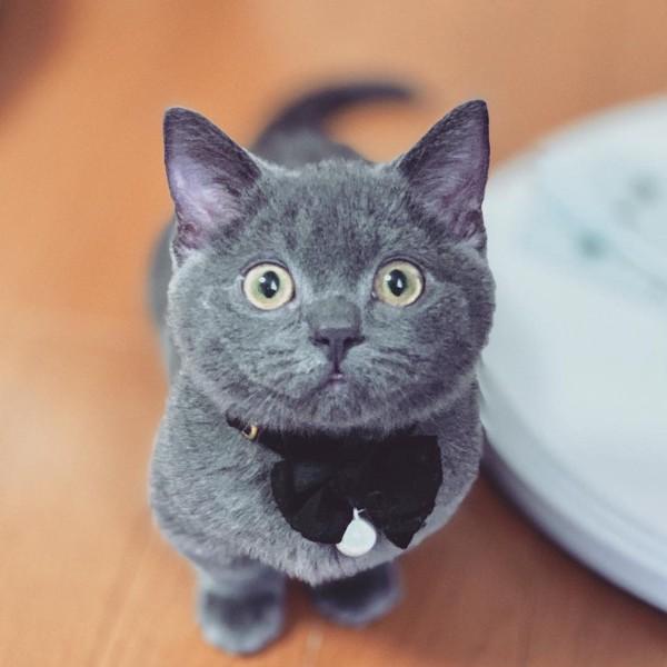 猫 マンチカン MARTAの写真