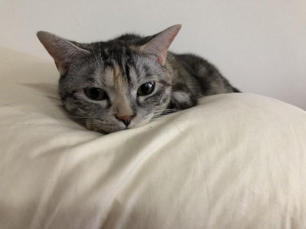 猫 アメリカンショートヘア あめの写真