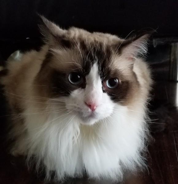 猫 ラグドール そらの写真
