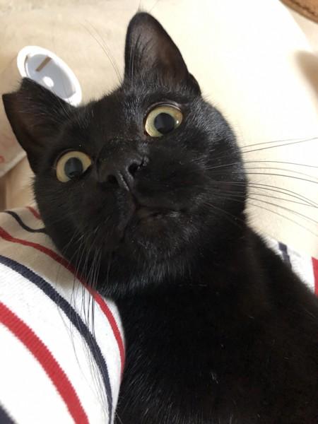 猫 黒猫 ゴリの写真