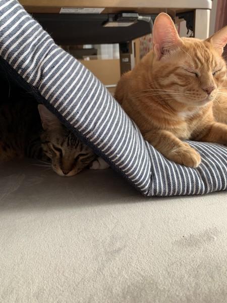 猫 キジトラ コテツ きなこの写真