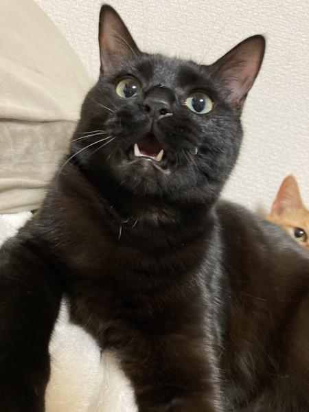 猫 ミックス ベルの写真