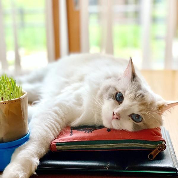 猫 ラグドール ぽぽ  の写真