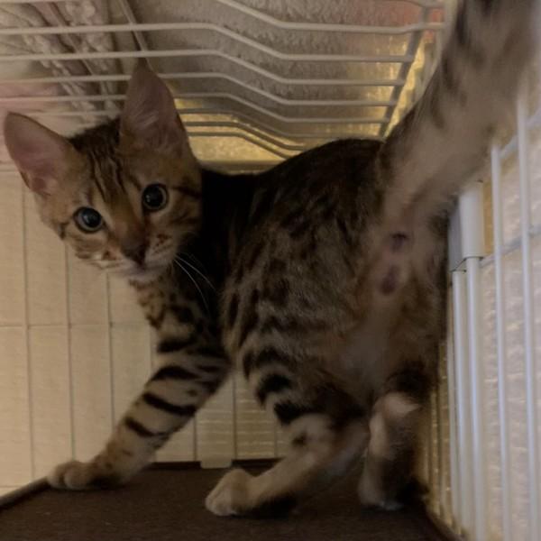 猫 ベンガル ルナの写真