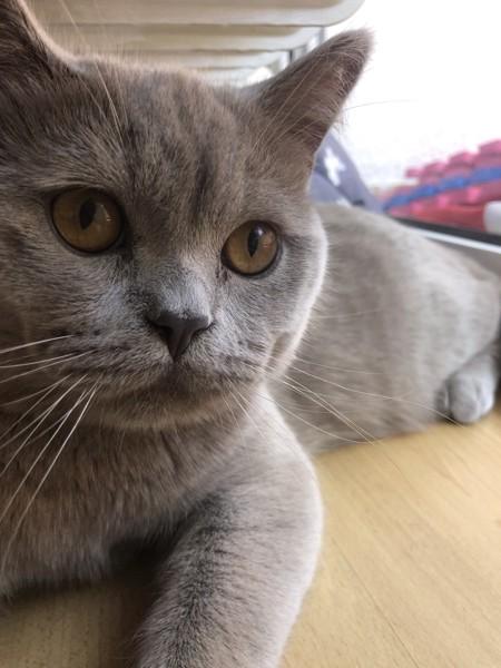 猫 ブリティッシュショートヘア リヴァイの写真