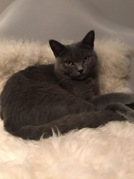 猫 ブリティッシュショートヘア フィズの写真