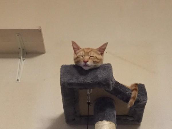 猫 茶トラ ニーヤの写真