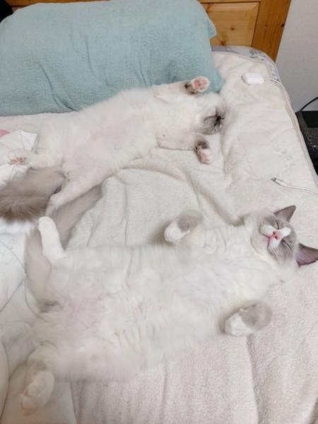 猫 ラグドール さんま、こつぶの写真