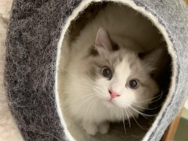 猫 ラグドール ミウラの写真