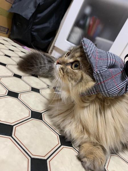 猫 アメリカンカール まりんの写真