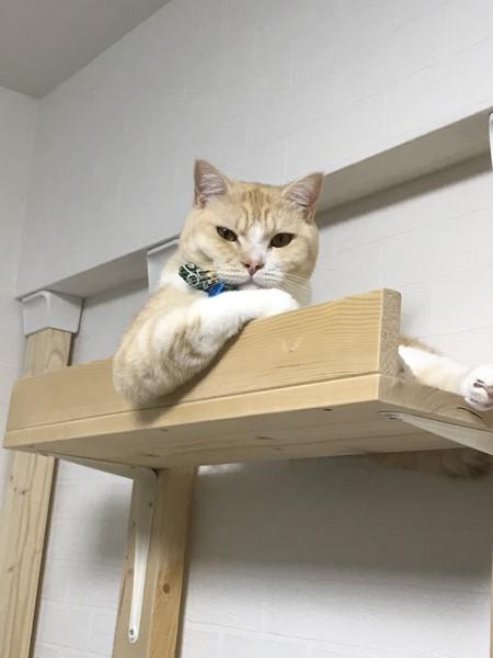 猫 マンチカン エルの写真