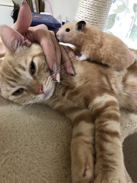 猫 アメリカンショートヘア ジジの写真