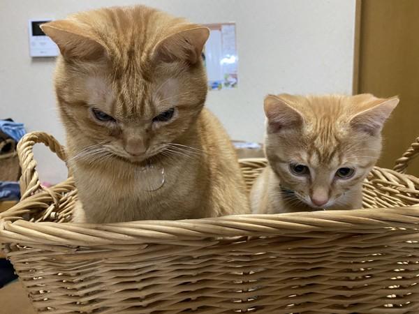 猫 茶トラ 茶太郎、むぎの写真