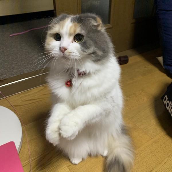 猫 スコティッシュフォールド にゃーこの写真