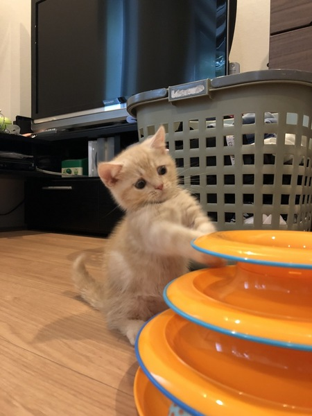 猫 マンチカン マルの写真