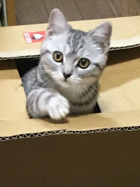 猫 スコティッシュフォールド ふくの写真