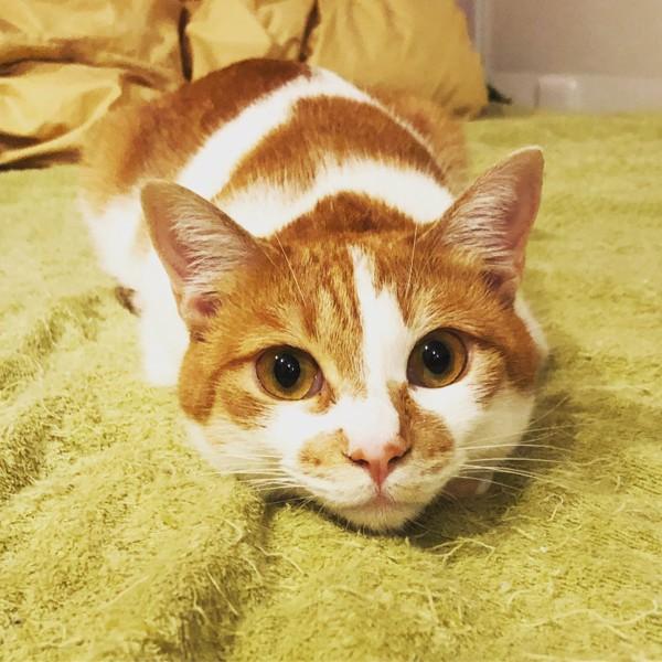 猫 茶白トラ しゅしゅまるの写真