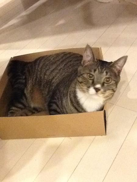 猫 キジトラ おっこの写真
