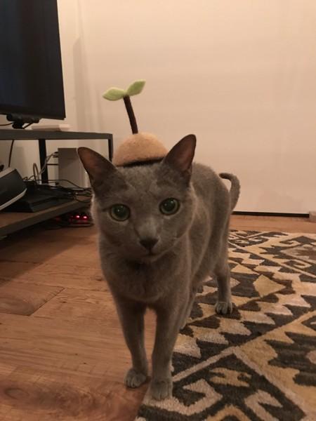 猫 ロシアンブルー るいの写真