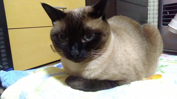猫 シャム ベルの写真