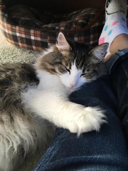 猫 ノルウェージャンフォレストキャット バジルの写真