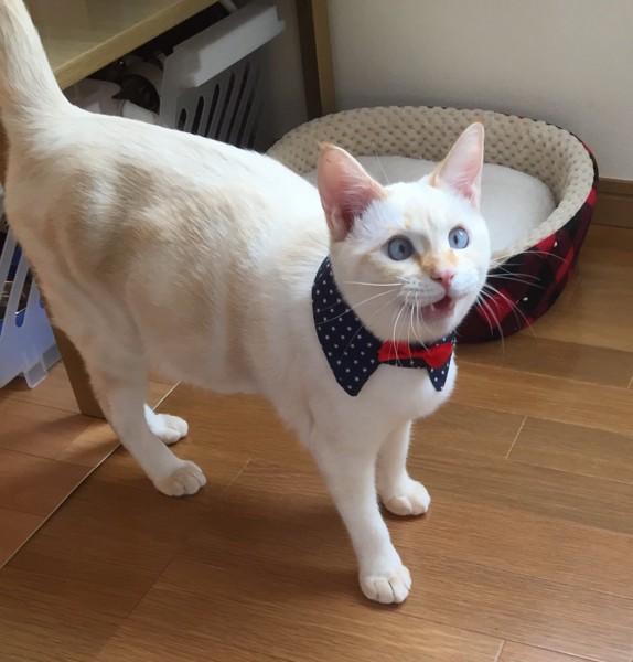 猫 カラーポイント・ショートヘアー らら丸の写真
