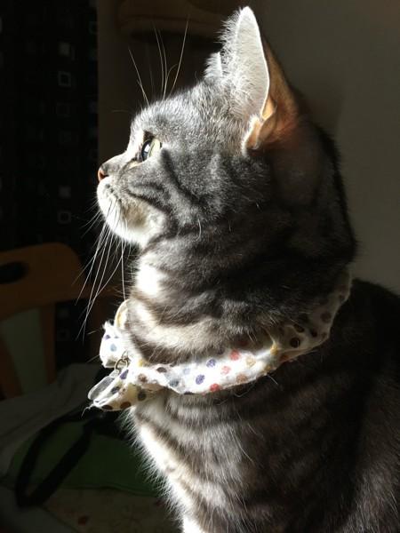 猫 アメリカンショートヘア みかんの写真