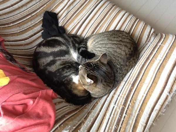 2匹くっついてぬくぬくする猫