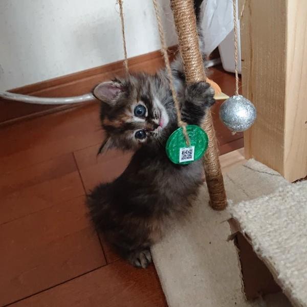 猫 サビ猫 なつの写真