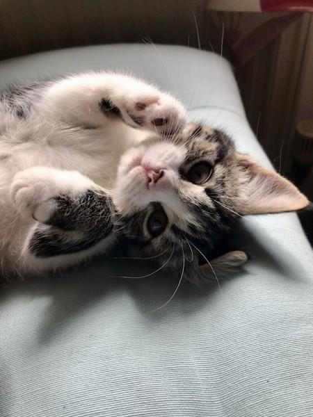 猫 サバシロ ティリーの写真