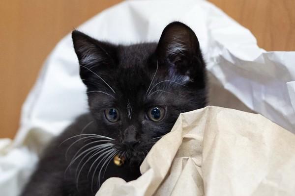 猫 黒猫 すずの写真