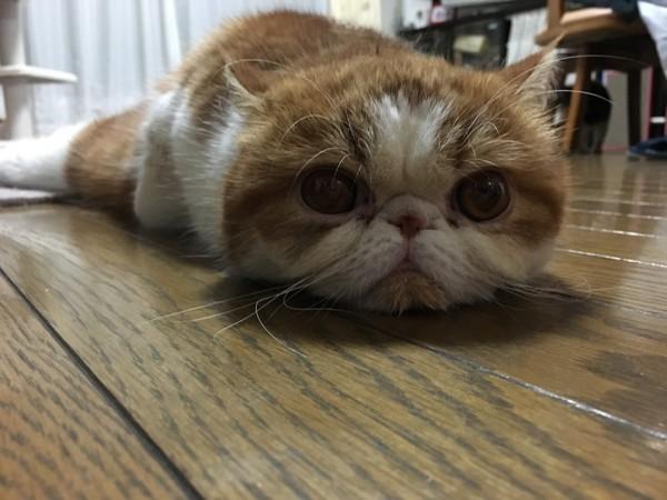 猫 エキゾチックショートヘア きなこの写真