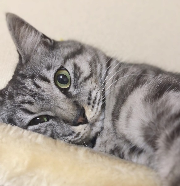猫 サバトラ こたの写真