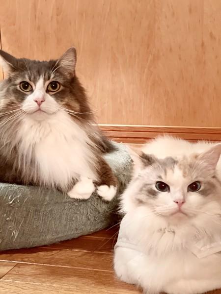 猫 ラグドール ぽぽの写真