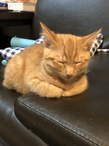 猫 スコティッシュフォールド キナコの写真