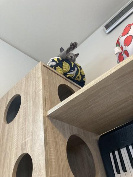 猫 ロシアンブルー ぺぐぞ〜の写真