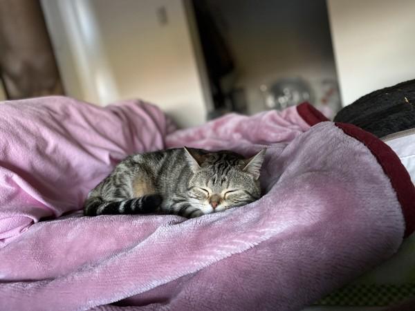 猫 スコティッシュフォールド 蘭ちゃんの写真