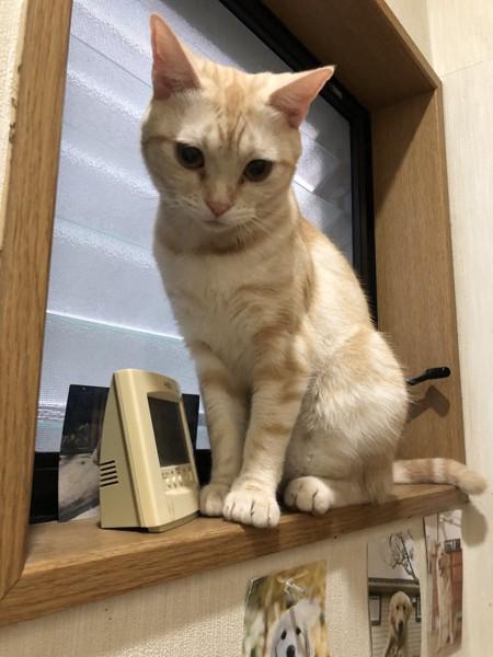 猫 アメリカンキューダ めいちゃんの写真