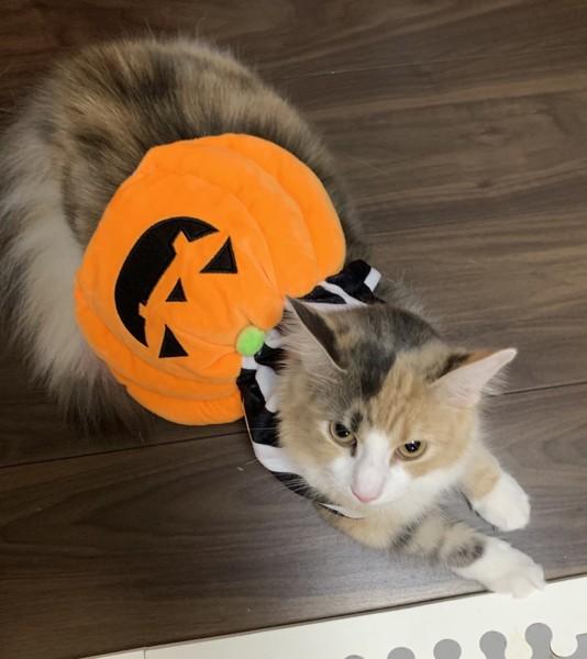 かぼちゃの服を着た猫