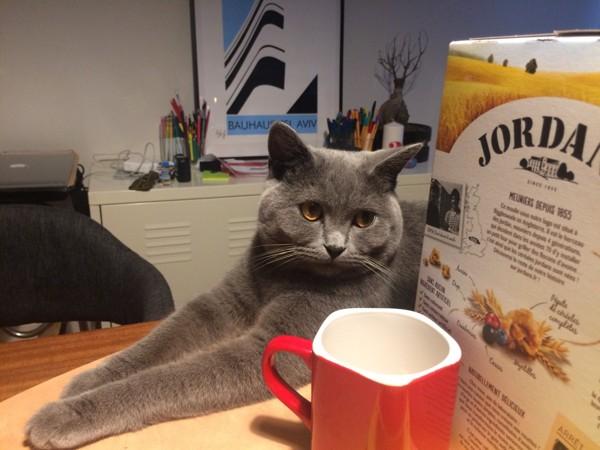 猫 ブリティッシュショートヘア アッフィーの写真
