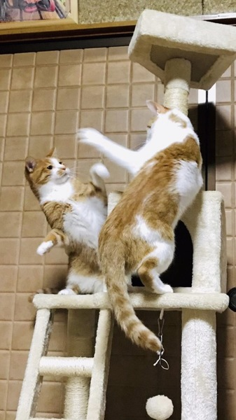 猫 茶白トラ ハッピーの写真