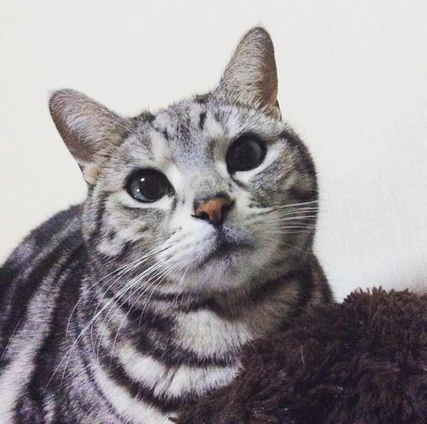 猫 アメリカンショートヘア タイガの写真