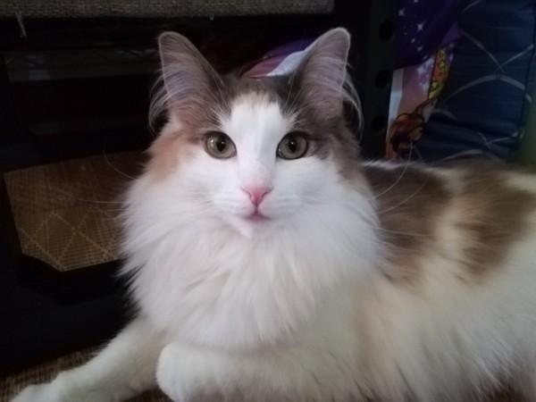 猫 ノルウェージャンフォレストキャット ルナの写真
