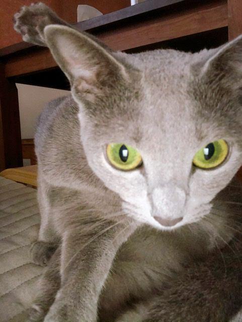 猫 ロシアンブルー 🐈ペグゾ〜🐈すけぞーの写真
