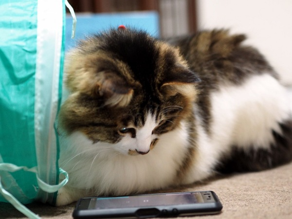 猫 雑種(ミックス) ちぃたろうの写真