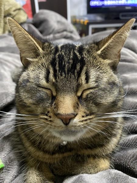 猫 雑種 はなちゃんの写真